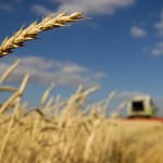 Wheat falls to 17-day low as rains provide temporary relief