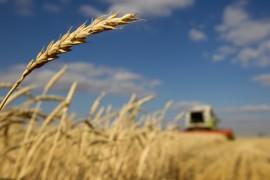wheat_