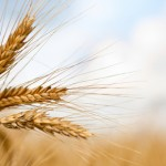 Wheat prices edge up ahead of USDA report