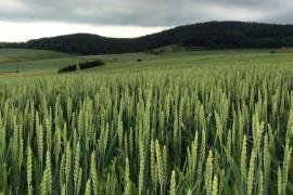 _Wheat