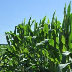 U.S. corn steadies, gains capped by sluggish exports