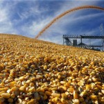 Corn edges down, lingers near 6-mth low