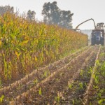 S. Africa Seen Cutting Corn-Output Estimate 2.5% on Drought