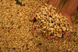 A worker displays coffee beans during a harvest at Masalle district, in Enrekang, Indonesia South Sulawesi province January 5, 2012. REUTERS/Yusuf Ahmad