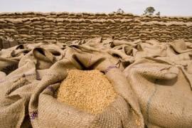 wheat_india