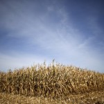 Grain glut leaves U.S. farmers facing losses from specialty corn