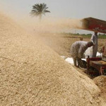 EU wheat holds near two-week low as exports remain sluggish