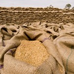 Rain helps EU wheat crops after difficult spring